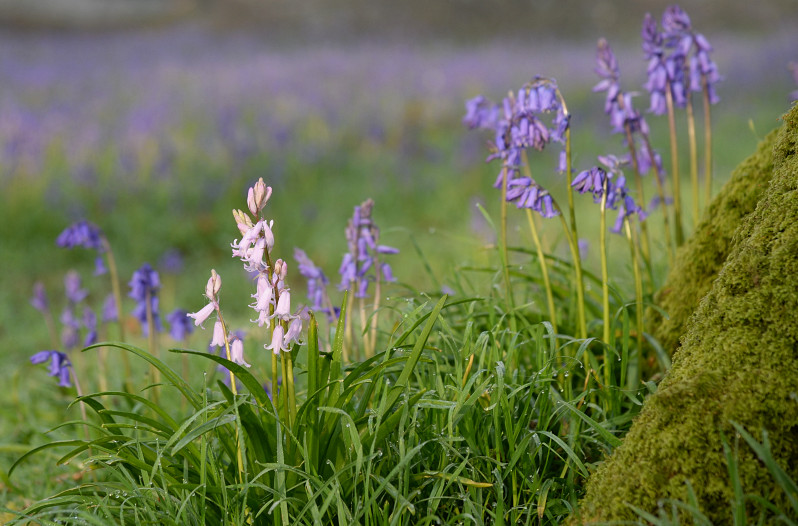 bluebells and pinkbells